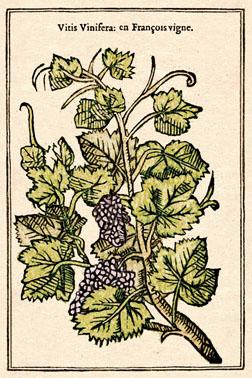 vigne recto light - copie
