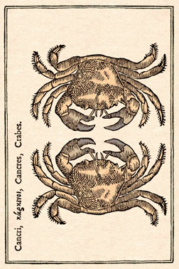 crabe cancre vertic